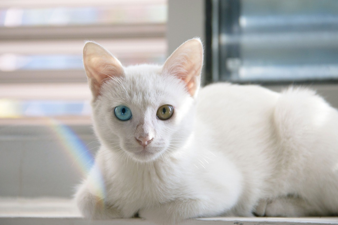 The 5 Most Beautiful Cat Breeds From Thailand