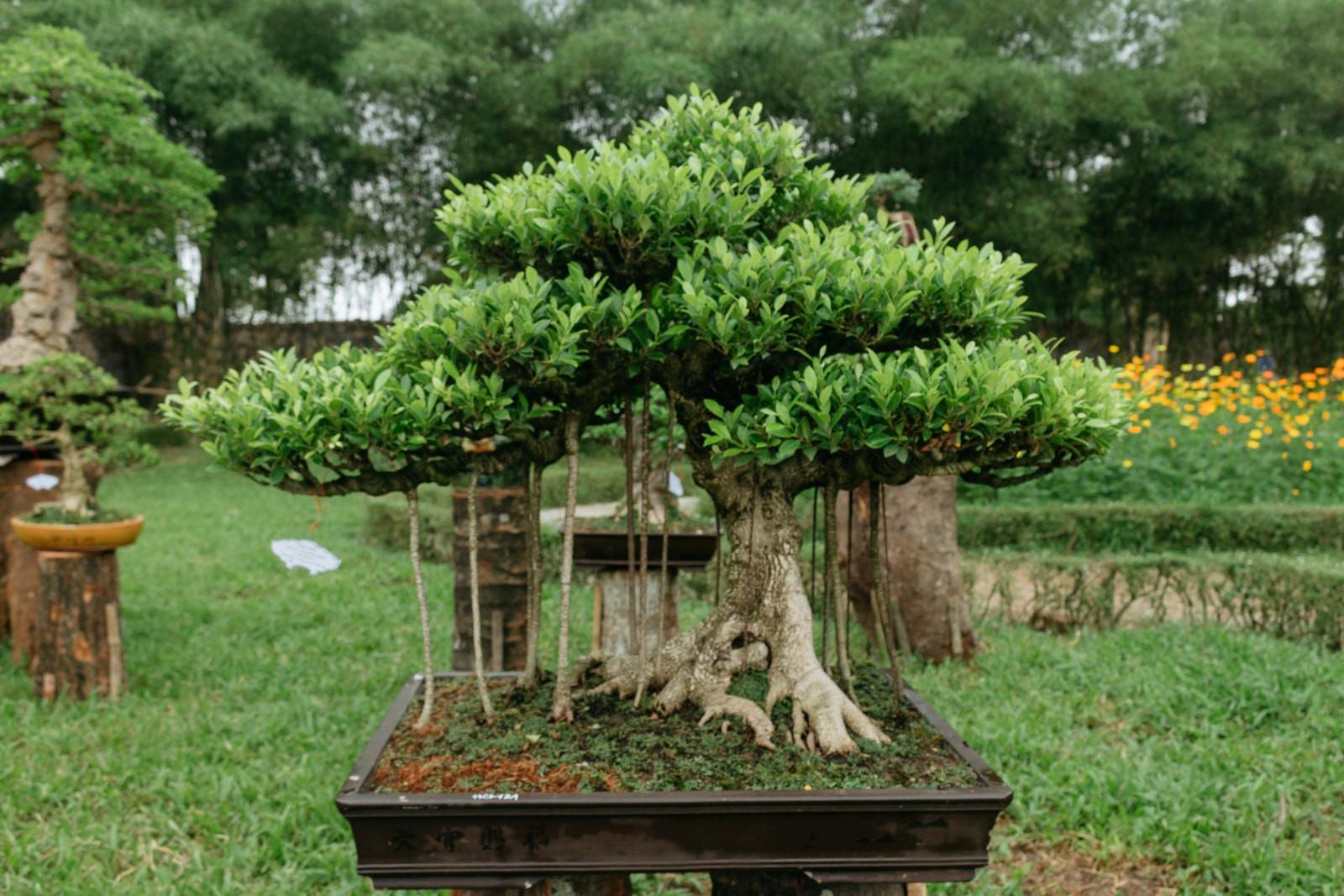 Vietnams Tradition Of Beautiful Bonsai Tree Art Wiring A