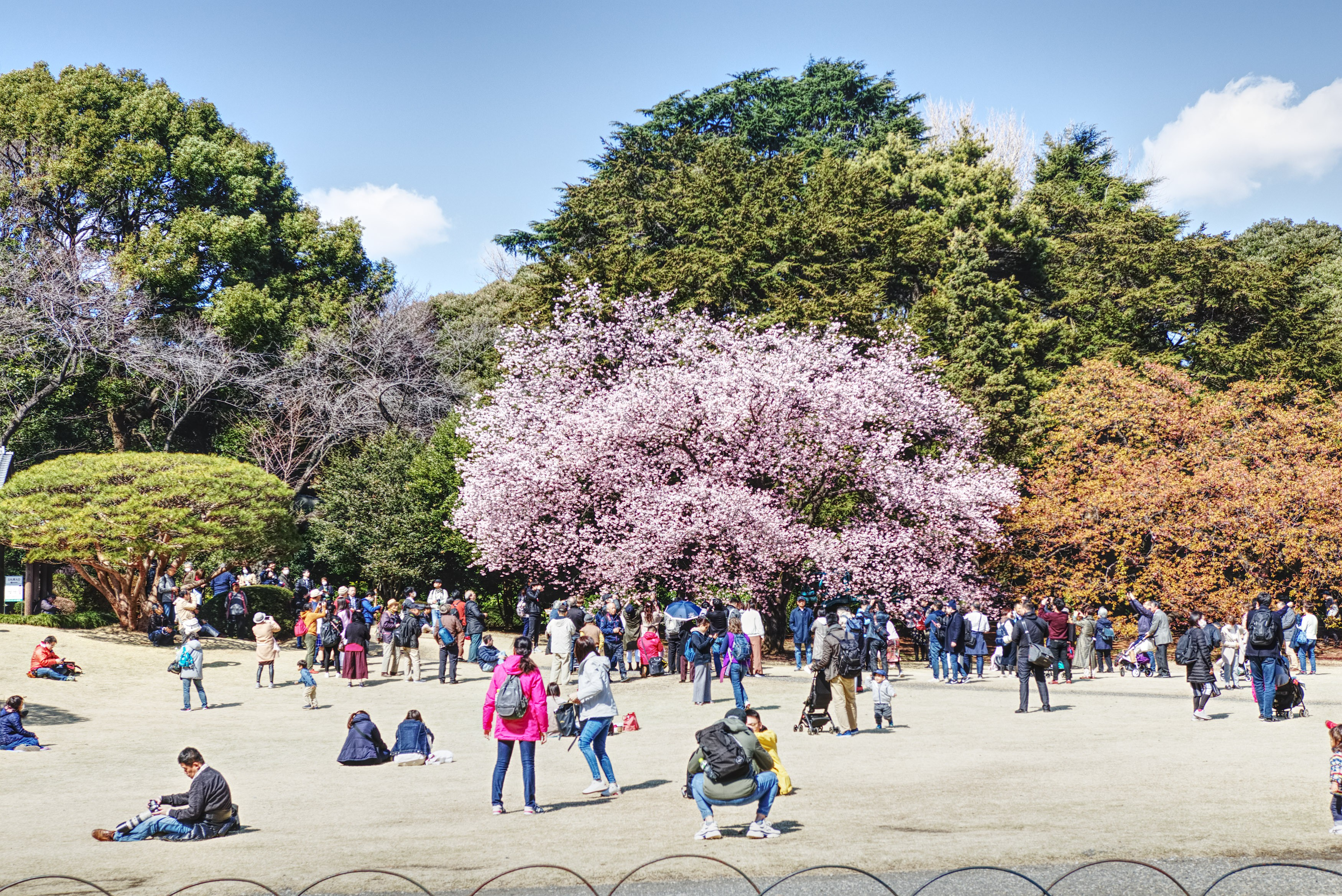 Shinjuku Gyoen is breathtaking during the cherry blossom season