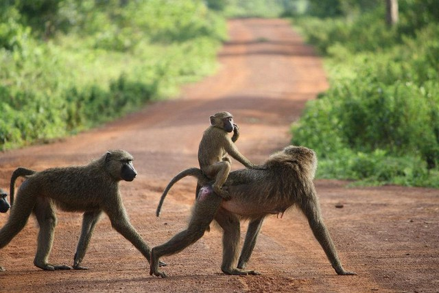 Monkeys in Ghana I © Frontierofficial/Flickr