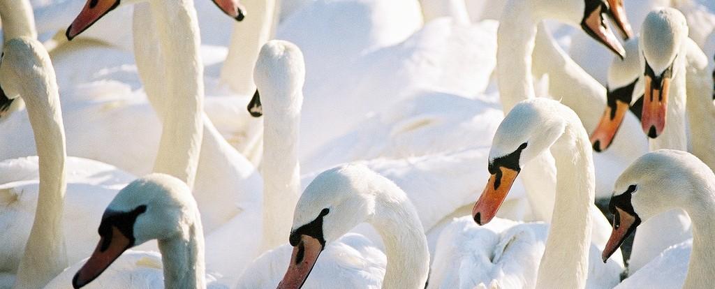 Swans Of Holyrood Park | © oskar karlin/Flickr
