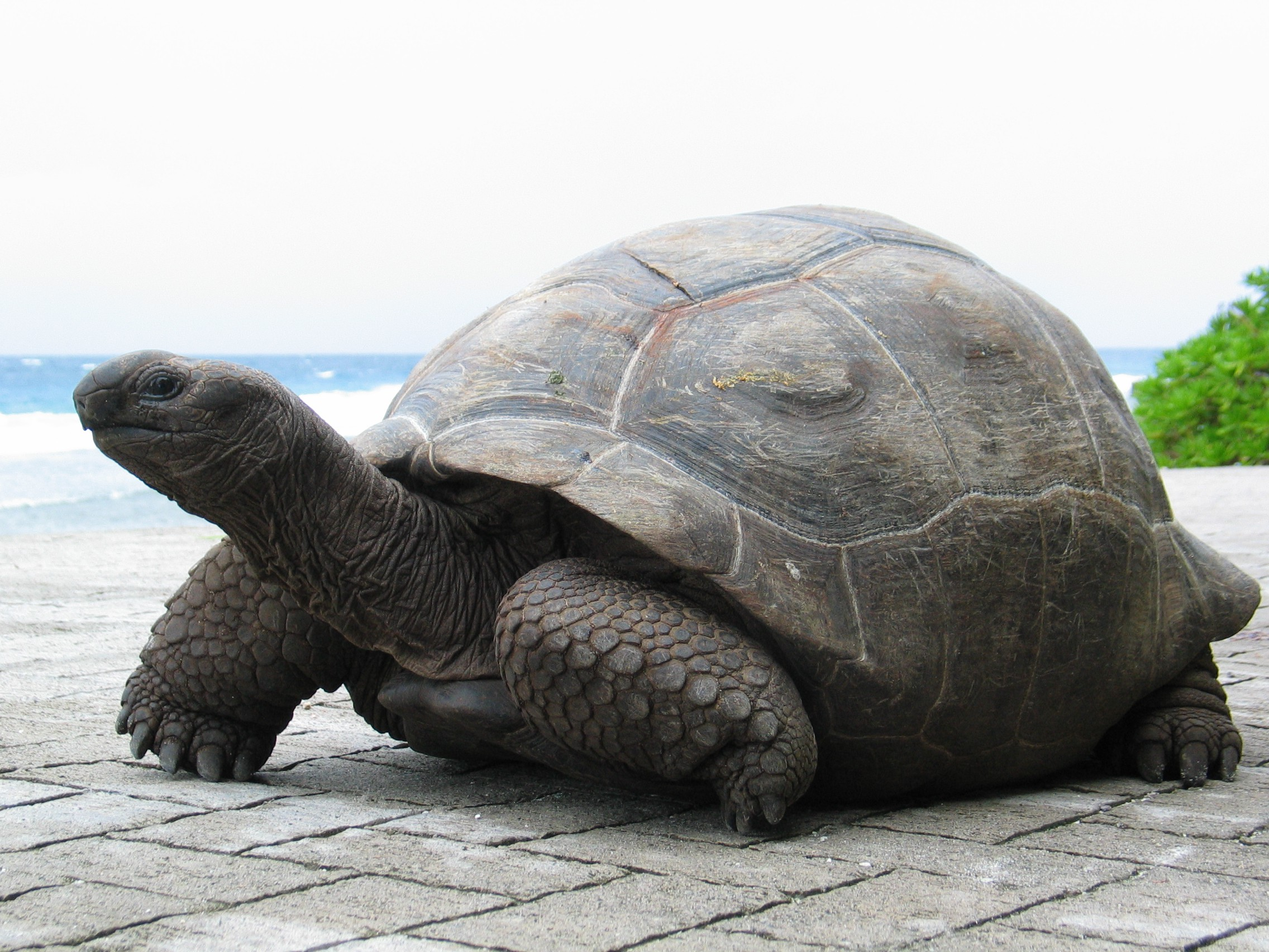 Aldabra Giant Tortoise | ©fred_pnd / flickr