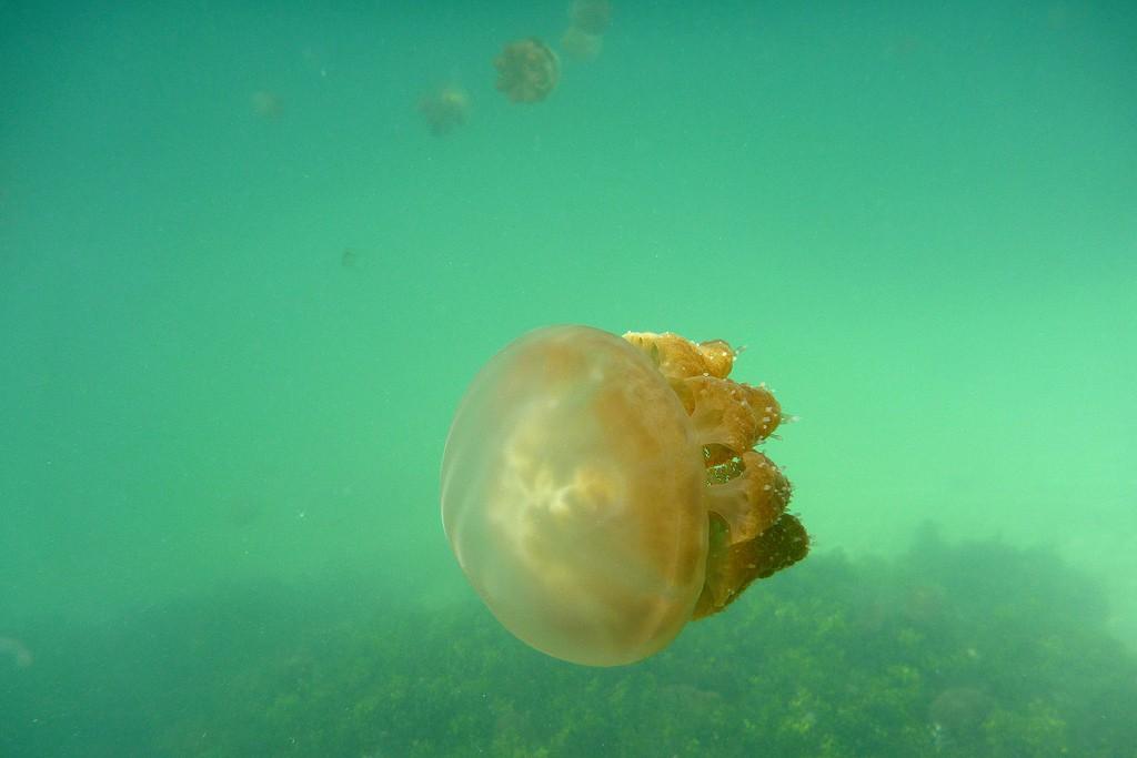 Stingless jellyfish in Kakaban Lake   © TomaB / Flickr