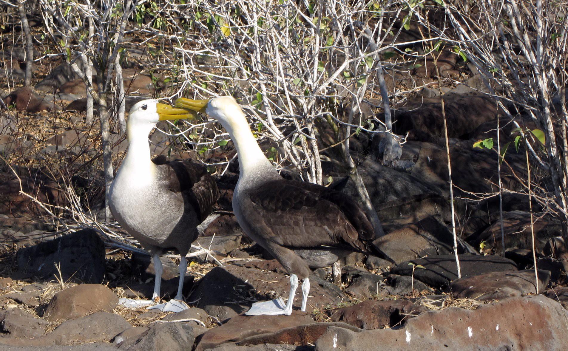Galapagos Waved Albatross © Claumoho/Flickr.com