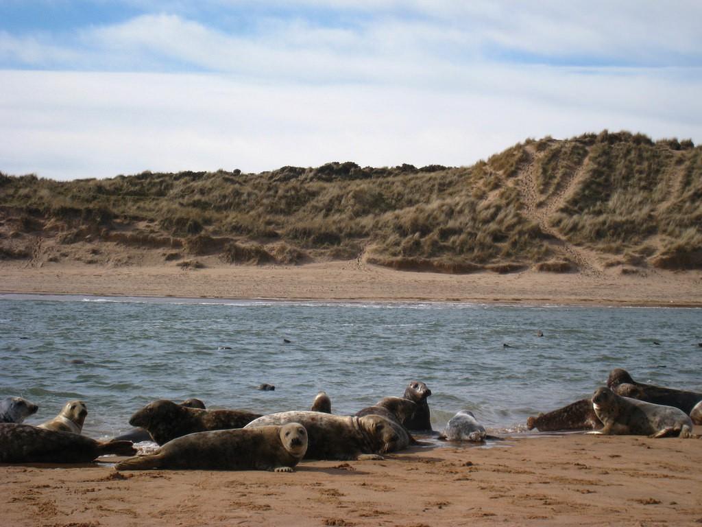 Seals, Ythan Estuary, Forvie Sands   © Iain Cameron/Flickr