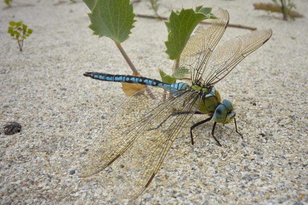Giant dragonfly on Vadu Beach | © J Stimp/Flickr
