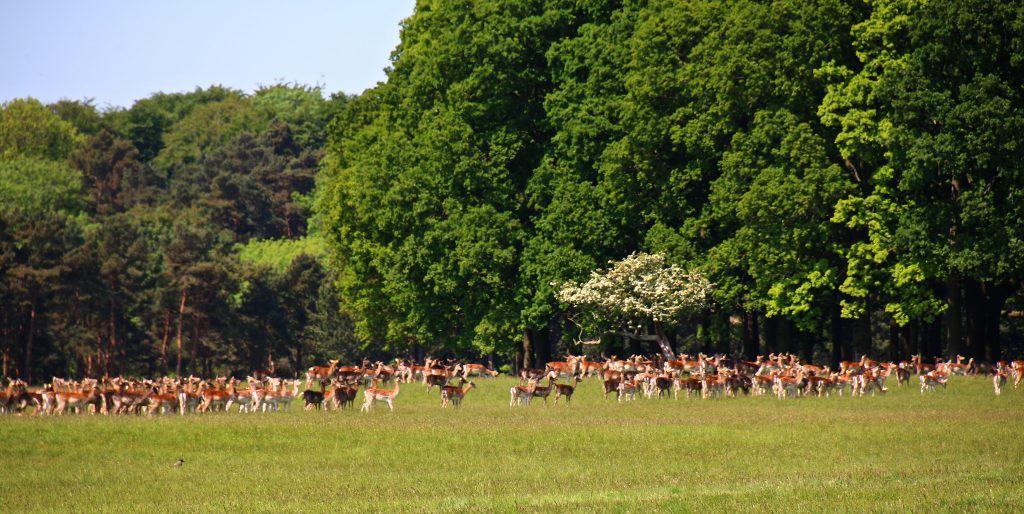 Deer in Phoenix Park  Alain Rouillier/ ©Flickr