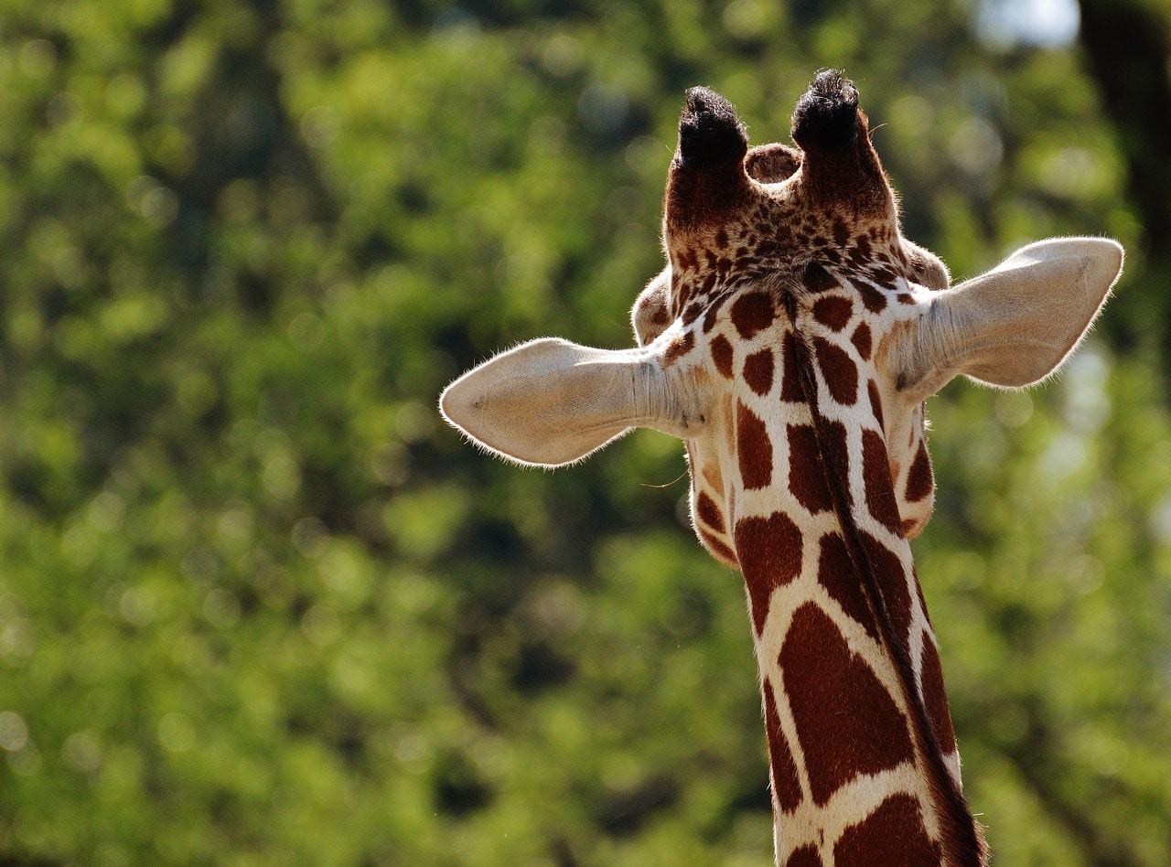 A giraffe/©Alexa's Fotos - Pixabay