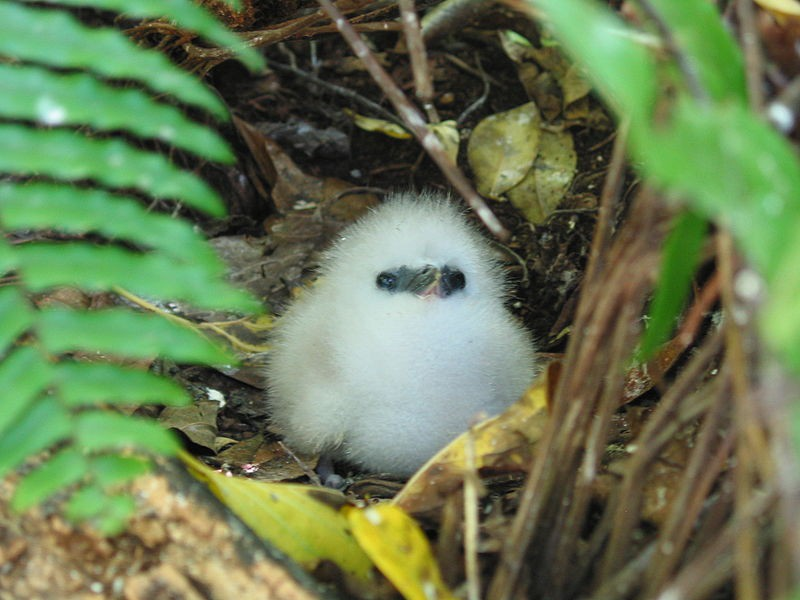White Tropic Bird on Cousin Island, protected thanks to the work of Nature Seychelles |© fred_pnd / Wikipedia