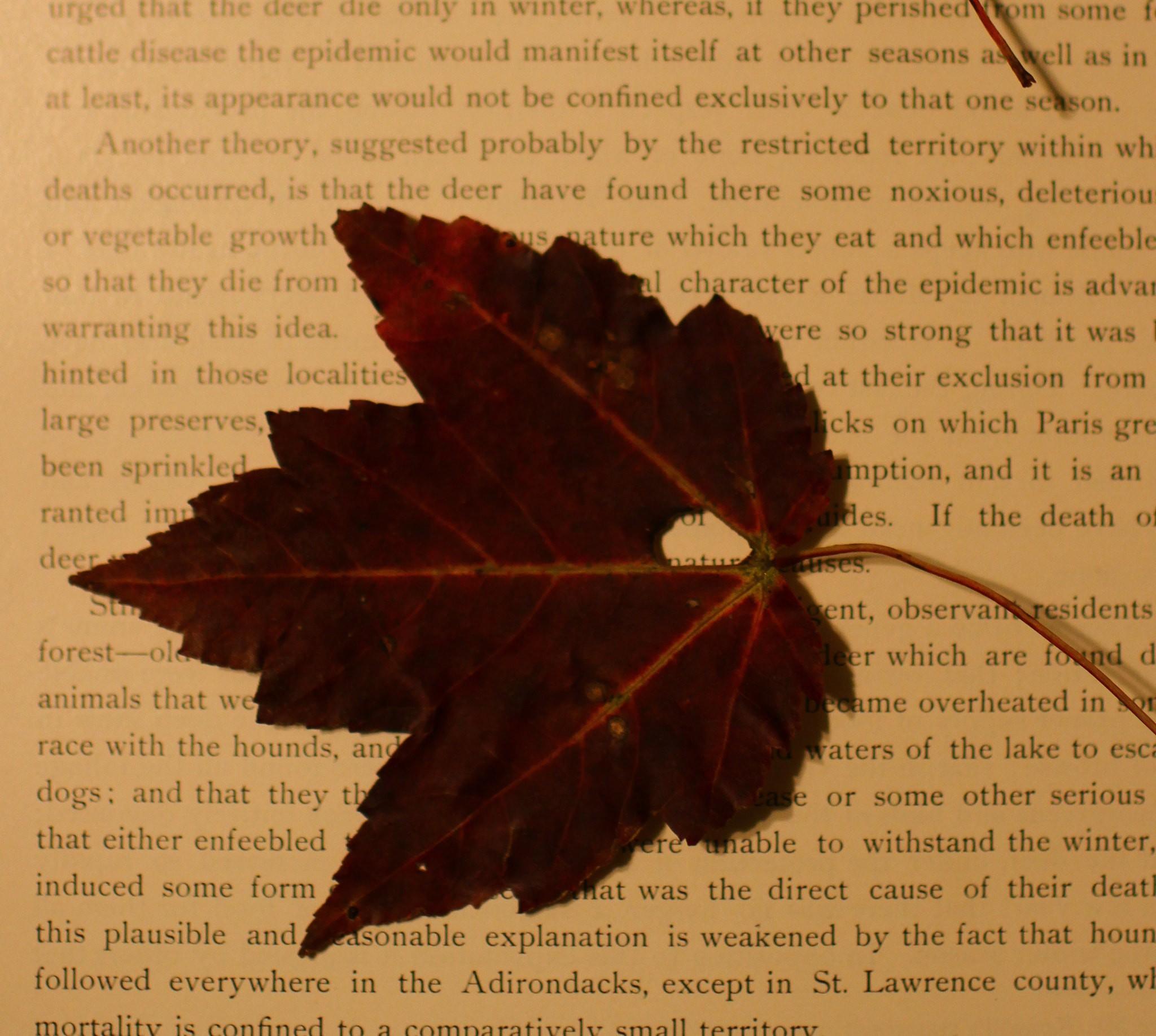 Pressed Maple Leaf   © Chris Waits