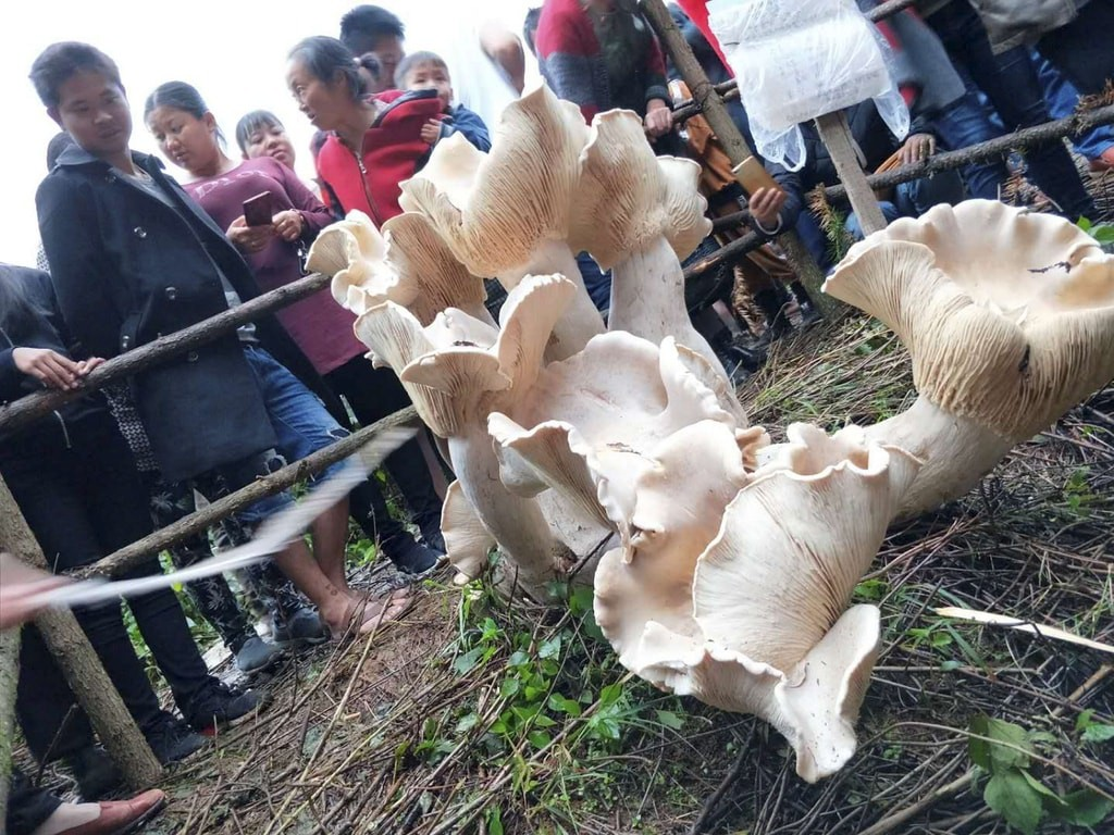 Giant wild mushroom disocovered,  Xiaoluoqiping village of Tengchong city, Yunnan Province, China | © Imaginechina/REX/Shutterstock