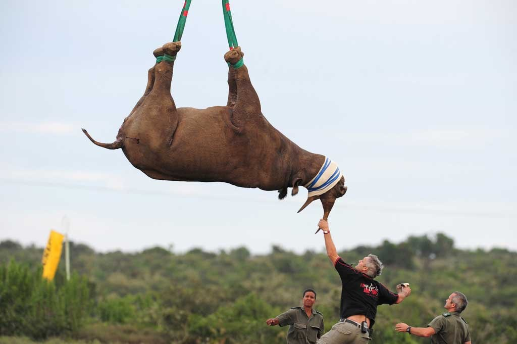 A rhino being air lifted | ©Gallo Images/REX/Shutterstock