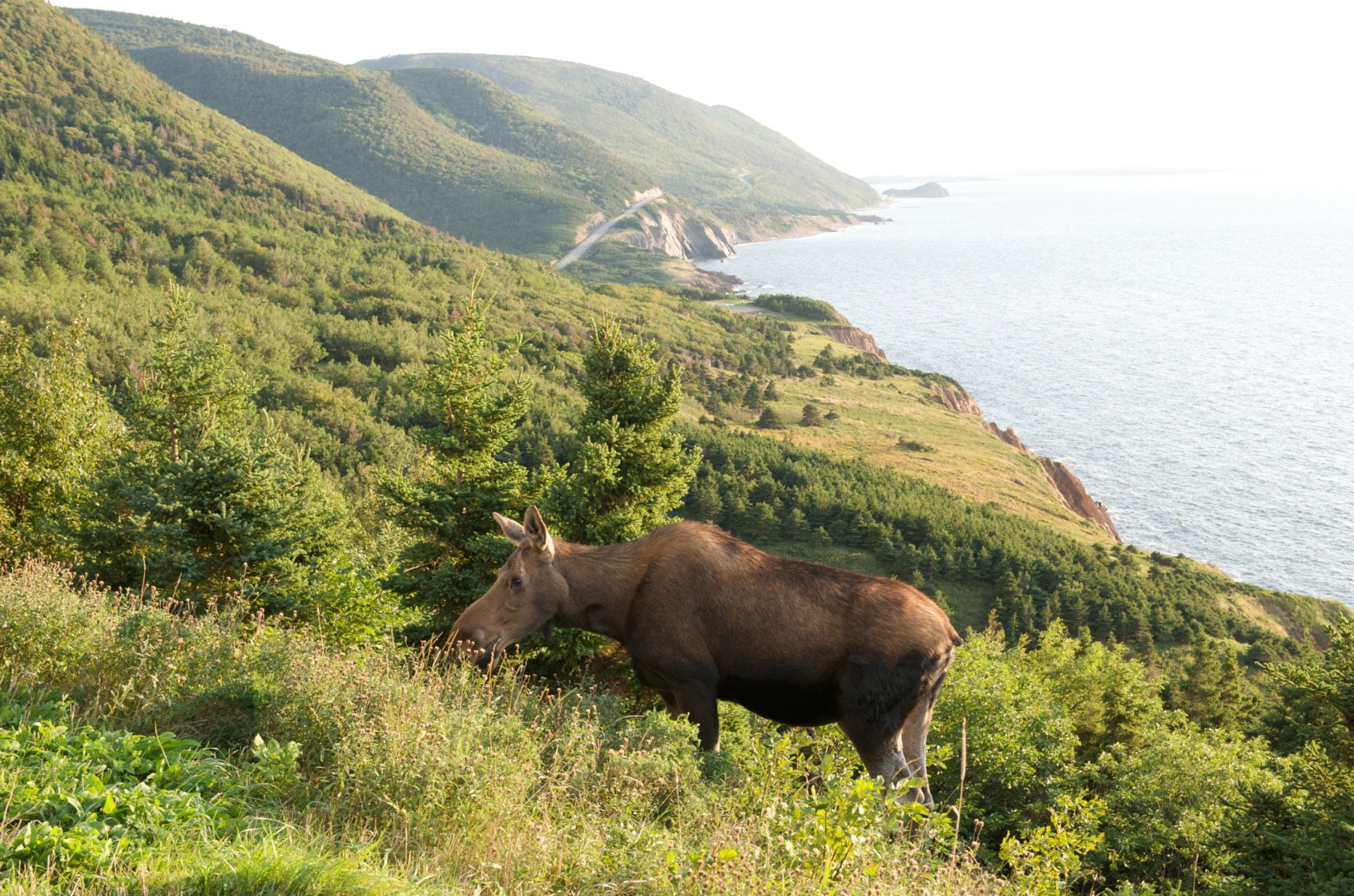 Moose along the Cabot Trail in Cape Breton Highlands National Park near Cheticamp, Nova Scotia, Canada | Courtesy of Nova Scotia Tourism