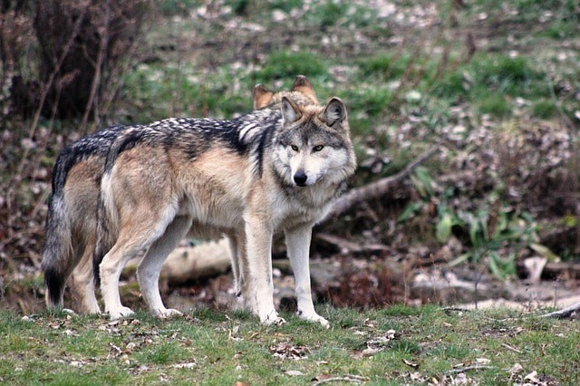 Wolves|©colfelly/Pixabay