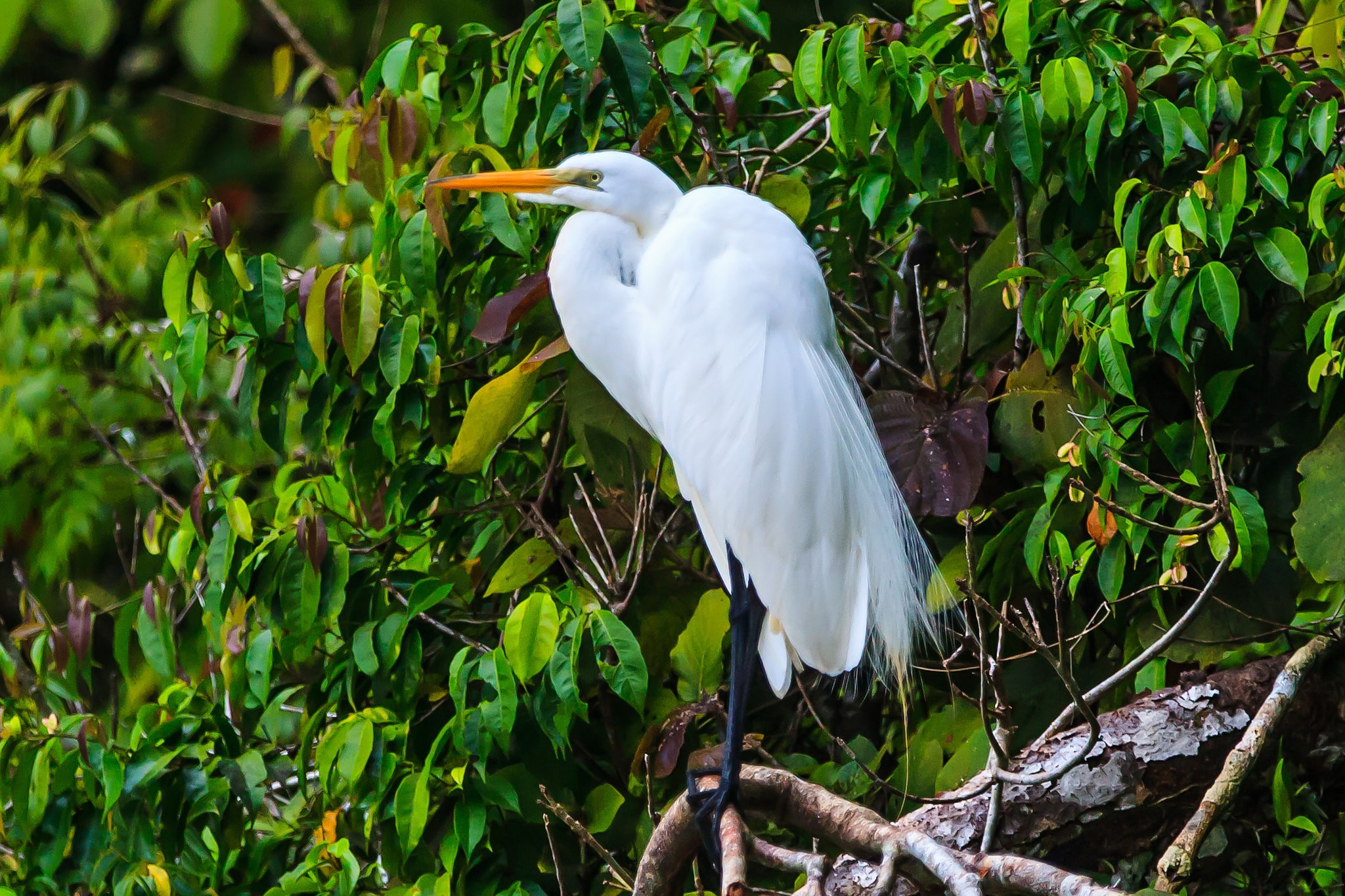 A Great Egret near Rio Dulce, Guatemala © Murray Foubister / flickr