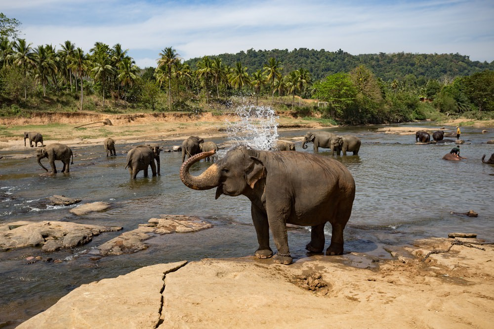 Pinnawala Elephant Orphanage. Sri Lanka