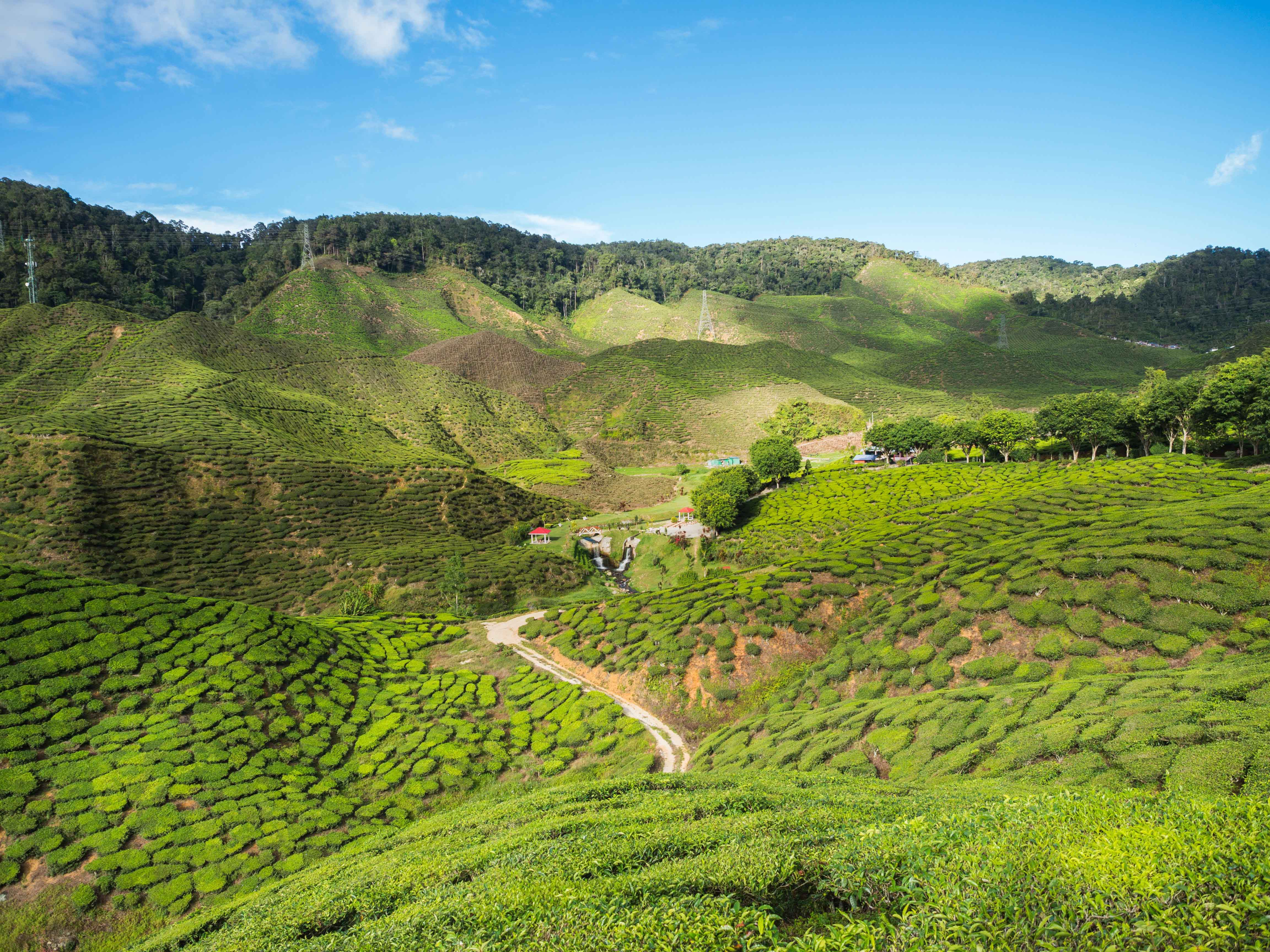 How to Spend 24 Hours in Cameron Highlands, Malaysia
