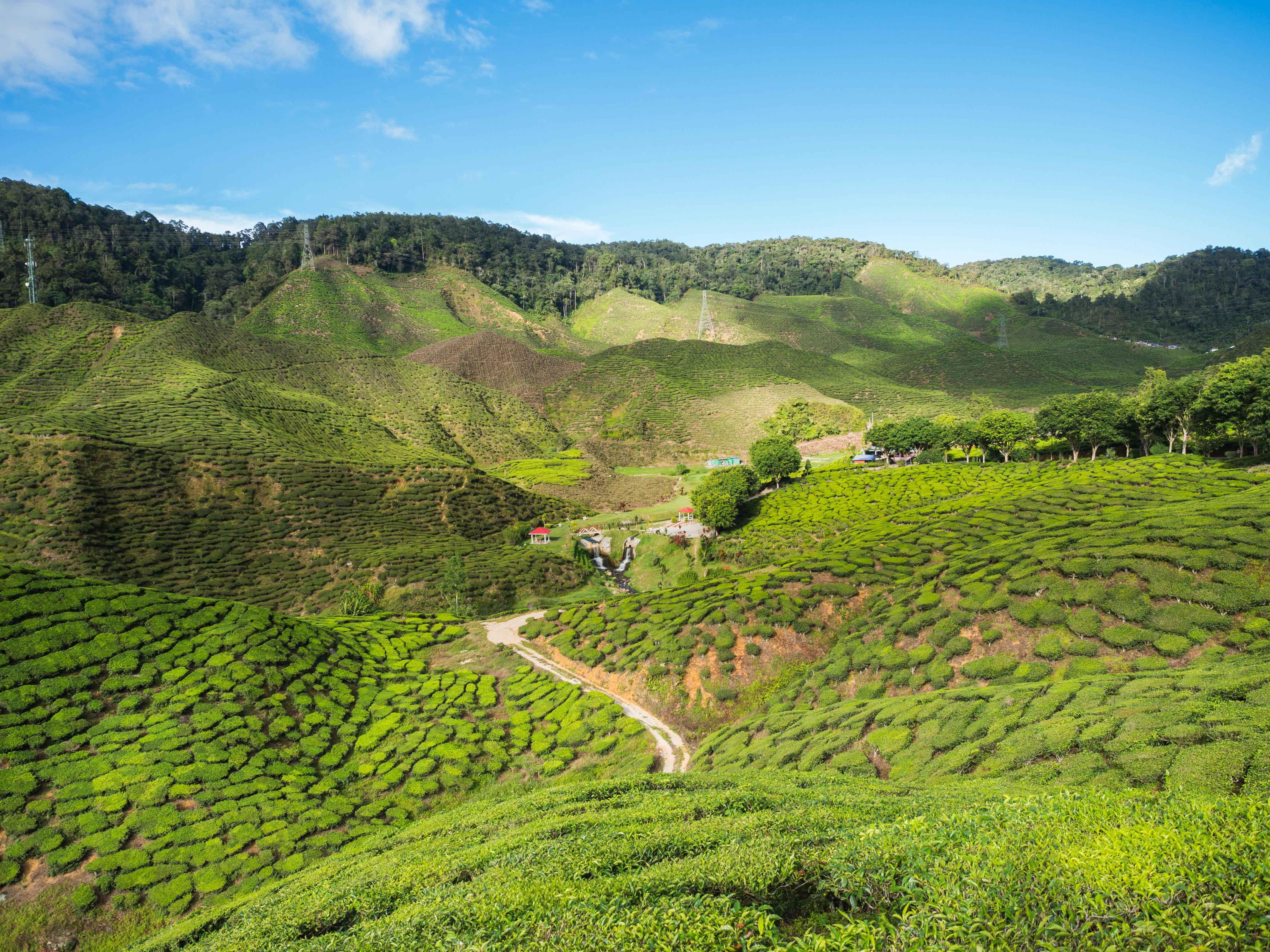 Cameron Highland's Tea plantation
