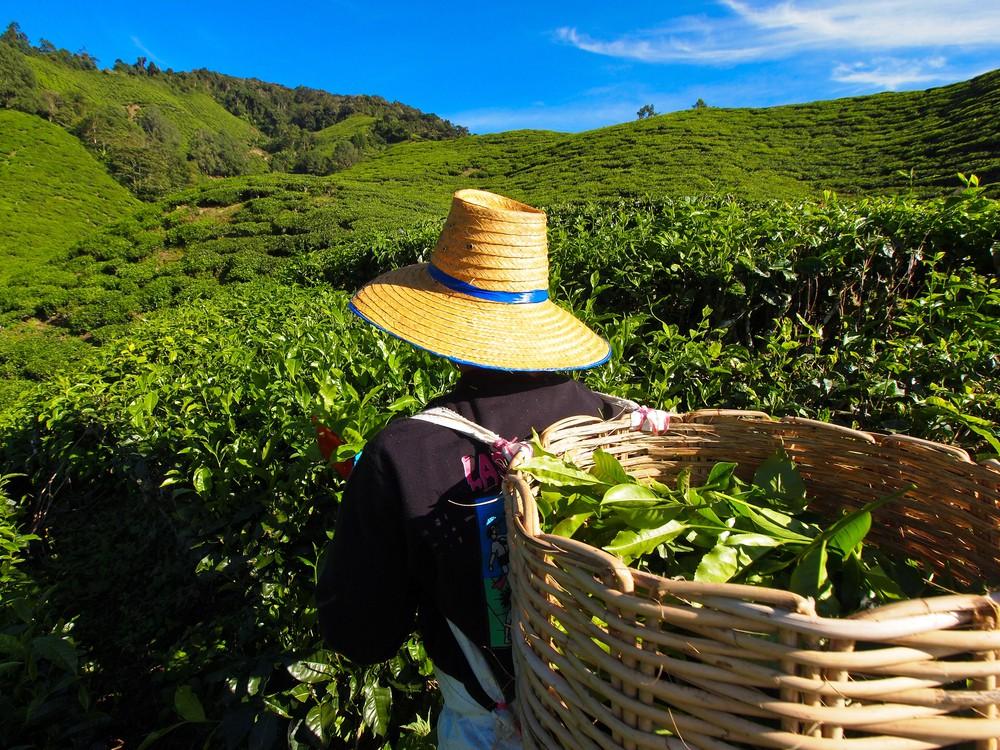 Tea plantation worker