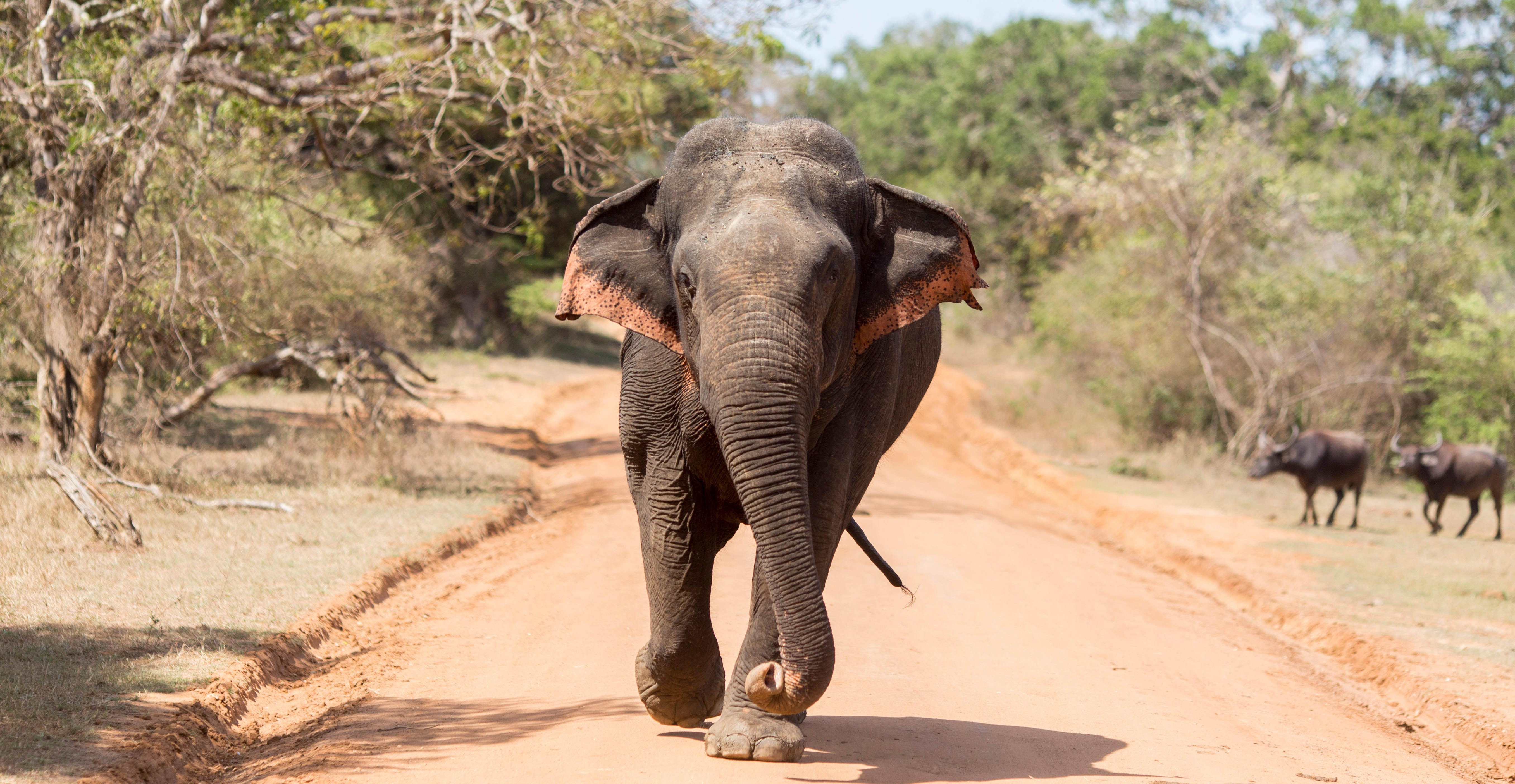 An elephant, one of Sri Lanka's 'big five', in Yala National Park